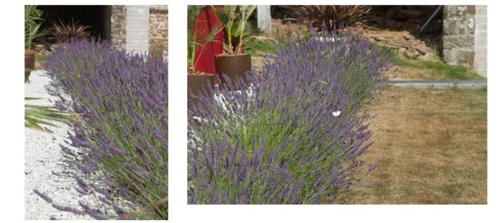 lavender blog 1