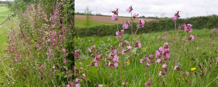 Red campion among the grasses at The Sign Maker North Devon