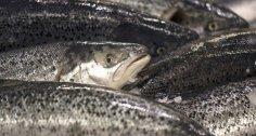 تناول السمك للتغلب على ضيق التنفس