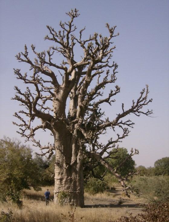 Baobab Tree, Gambia
