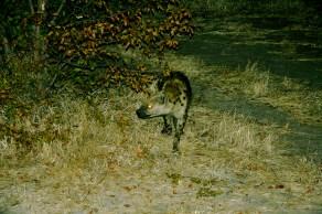 Hyena, Botswana