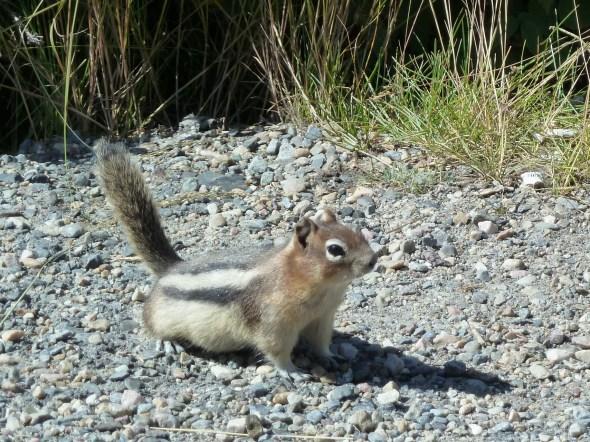A cute little chipmunk, Jasper National Park