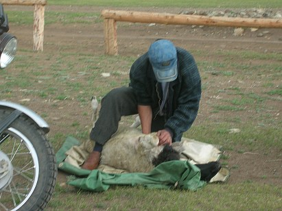 Baagii explained the procedure as the man went about his chore, completely unfazed by our presence. He pressed a small, sharp knife into the skin just below the sternum and sliced it downwards. Reaching in halfway to his elbow, he 'unplugged' the heart artery so the sheep would slowly bled to death.