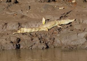 Amazon River Gater, Peru