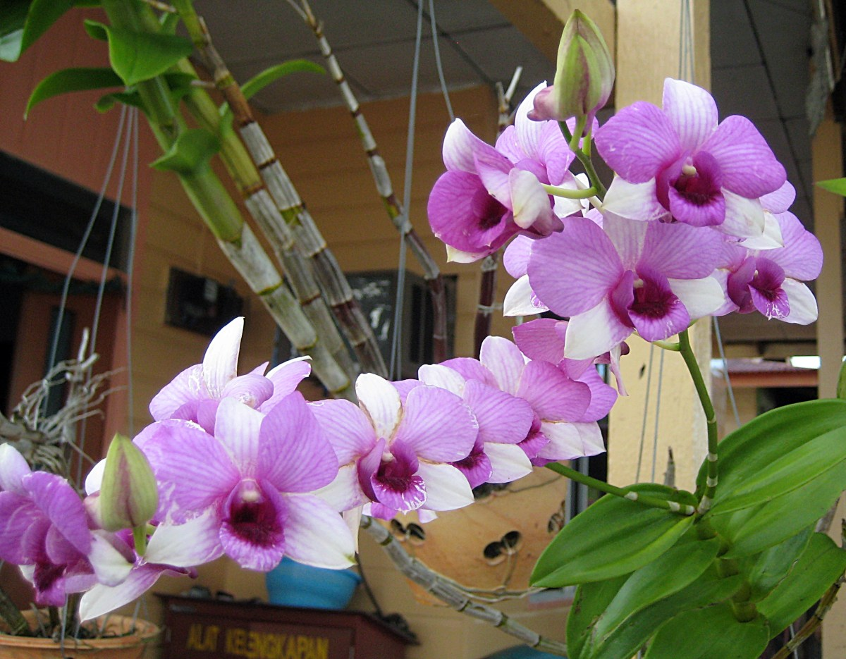 The orchids in Brunei are amazing