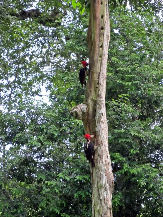 Pileated Wood Peckers