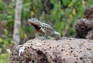 Galápagos Island Iizzard