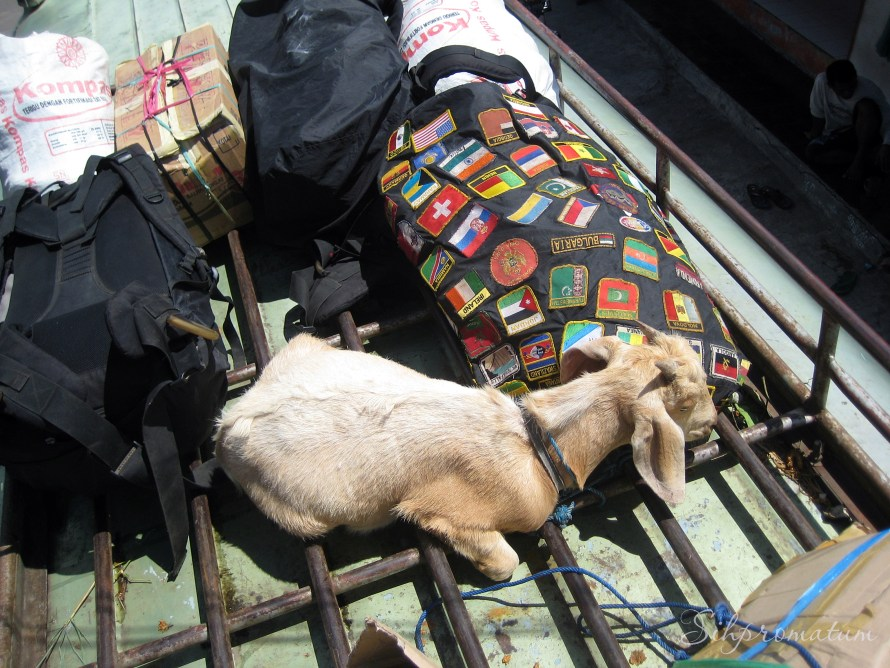 goat on the roof of bus