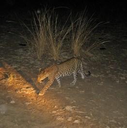 Zambia,leopard