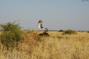Bird in Flight. Botswana