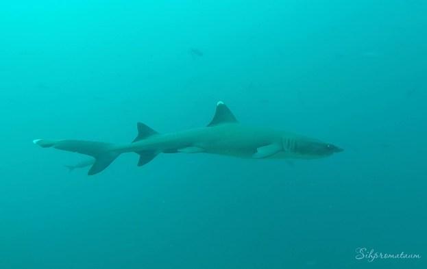 Galápagos Island shark