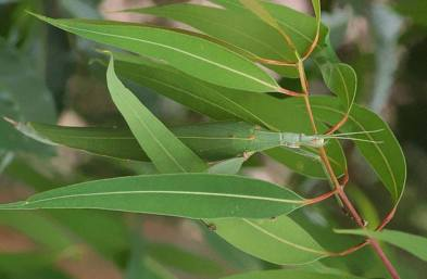 Tropidoderus childrenii perfettamente camuffato da foglia di eucalipto