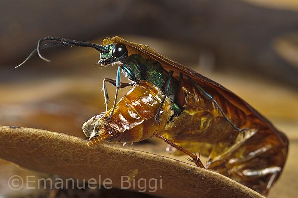 L'uscita dell'adulto dall'esoscheletro della blatta. Foto di Emanuele Biggi