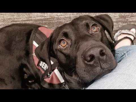 why i have a service dog + training videos