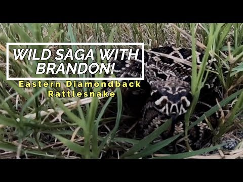 Wild Saga With Call: Eastern Diamondback Rattlesnake