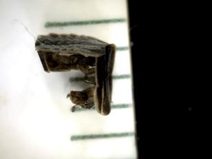 10 wk old larval molt