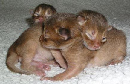 En de drie katertjes. De laatst geborene is het eerste met zijn oogjes