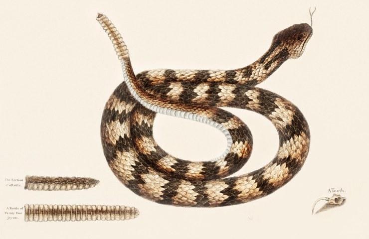 Rattle Snake (Vipera caudisona) from The Natural History of Carolina, Florida, and the Bahama Islands (1754) by Mark Catesby (1683-1749).