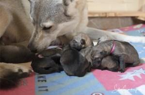 Tag der Geburt unserer tschechoslowakischen Wolfhund Welpen