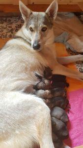 """Tag 65 Die Wolfhund Welpen """"Vom Bayerischen Jura"""" sind da ;)"""