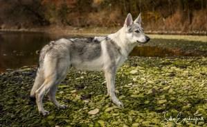 Herbst – Portrait von Aracho vom Bayerischen Jura, 6 Monate, an der Donau.