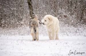 Aracho und ein 8- jähriger Pyrenäenberghund begrüßen sich – Aracho and an 8-year-old Pyrenean mountain dog greet each other :)