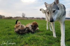 Welpe Boomer im Training, spielt mit Aracho – Boomer, the Wäller –  Puppy Boomer in training, playing with Aracho :)