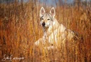 Jakira Delphi Spirit of the Wolf – 6 Jahre alt – Mama von sechs wunderschönen Welpen, die mittlerweile knapp 2 Jahre alt sind :)