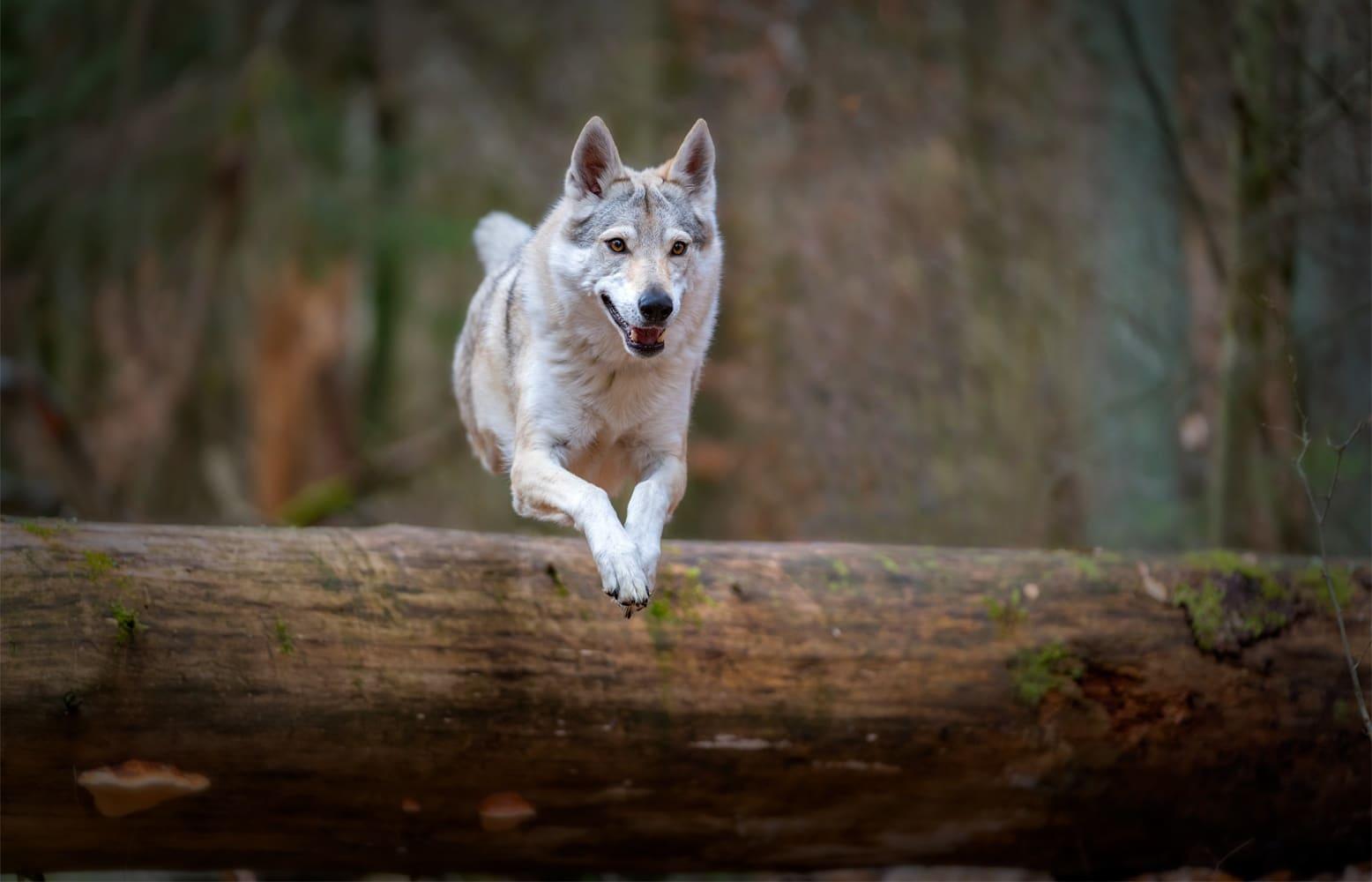 Delphi, Tschechoslowakische Wolfhündin, 7 1/2 Jahre alt apportiert ein Stöckchen.