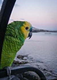 Lanzarote parrot