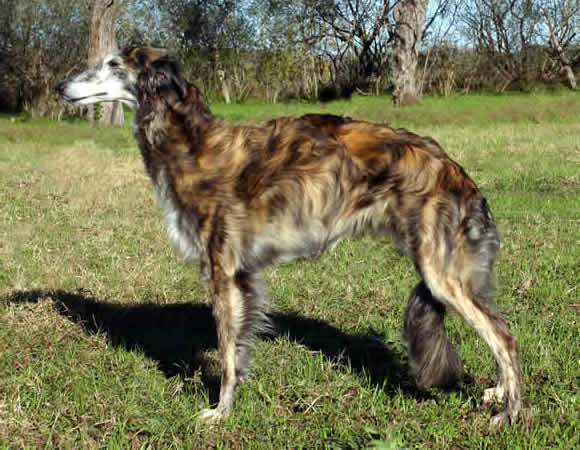 Kennel Kristull Silken Windhounds