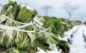 富益の白菜