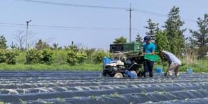 広い畑でサツマイモの苗植えをする様子