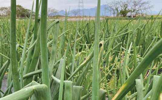 シルクファーム、玉ねぎ畑と大山