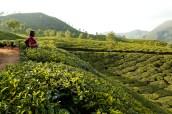 Ballade vivifiante dans les plantations de thé du Kerala.