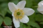 spring flowers (27 of 37)