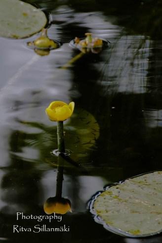 waterlillies-21