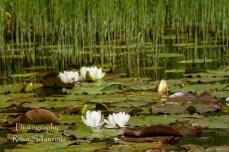 Waterlillies -Mustio-28