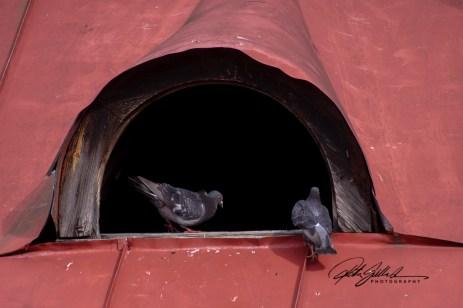 pigeons-1-kopio