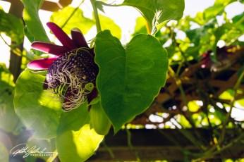 passiflora-pura-vida-5