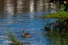 Wakodahatchee Wetland (10 of 154)