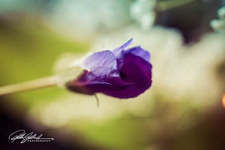 summer flowers (40 of 96)