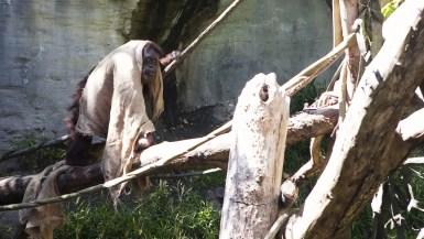 Orangutan (or Jedi Knight?) at Woodland Park Zoo in Seattle, Washington.