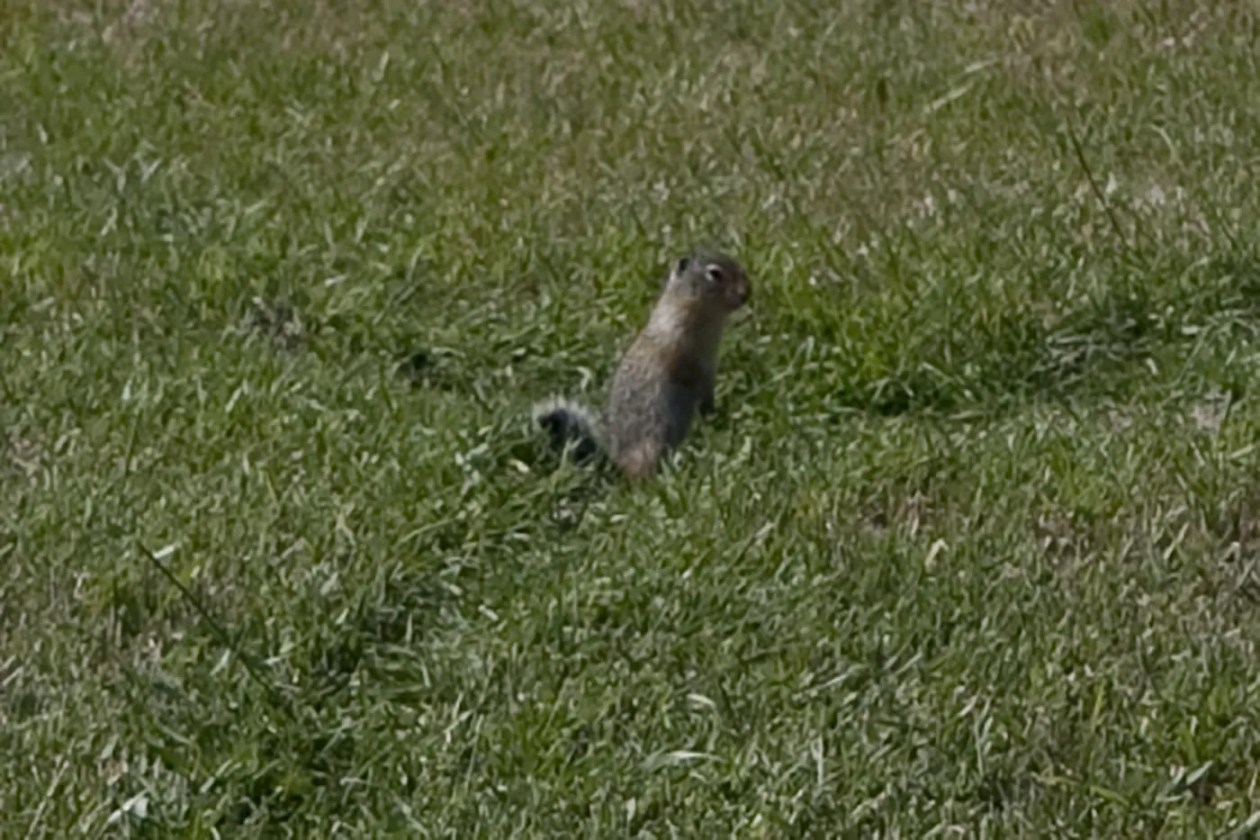 Marmots in 100 Mile House, British Columbia, Canada