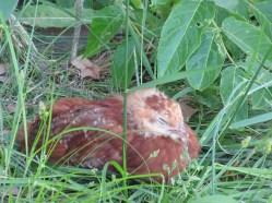 Chicks 1 month 170