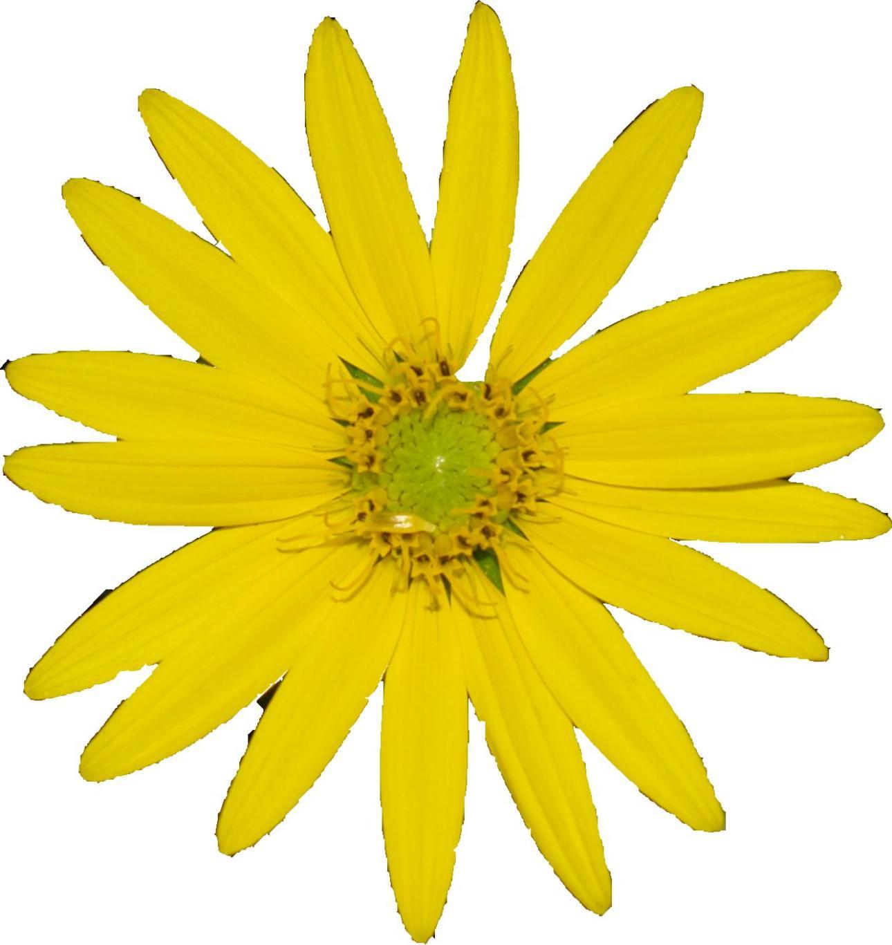 Silphium Flower