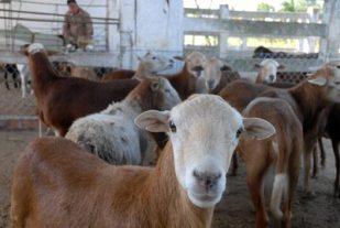 """Carneros de la granja agropecuaria """"Cuajaní"""", el 13 de enero de 2011, Pinar del Rio, Cuba. Foto: Calixto N. Llanes/Juventud Rebelde (CUBA)"""