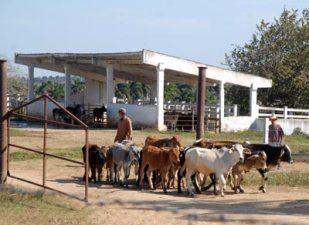 """Vaquería en la granja agropecuaria """"Cuajaní"""", el 13 de enero de 2011, Pinar del Rio, Cuba. Foto: Calixto N. Llanes/Juventud Rebelde (CUBA)"""