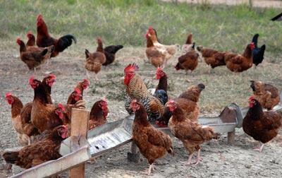 """Gallinas de la granja agropecuaria """"Baró"""", el 14 de enero de 2011, Pinar del Rio, Cuba. Foto: Calixto N. Llanes/Juventud Rebelde (CUBA)"""