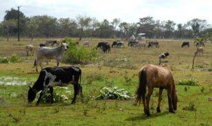 """El ganado pasta en áreas de granja agropecuaria """"Zapote"""", el 18 de enero de 2011, Artemisa, Cuba. Foto: Calixto N. Llanes/Juventud Rebelde (CUBA)"""
